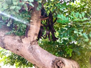 Giardino carrubbo antica masseria Ostuni #9
