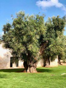 Giardino ulivo secolare antica masseria Ostuni #9