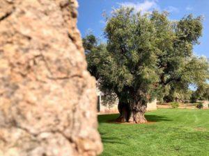Giardino ulivi secolari antica masseria Ostuni #9